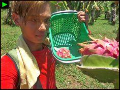 [BURGOS] ► Ilocos Norte Dragon Fruit Picking—First Time Stories / #TownExplorer #Burgos #IlocosNorte #Ilocos #Luzon #Philippines #SouthEastAsia #Asia