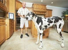 guinness world records 2017 worlds tallest dog man with largest
