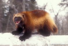 Question: What is MORE badass than a Honey Badger?   Answer: A Wolverine.