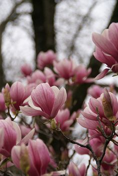 I have both of my pink magnolia trees in bud. Magnolia Trees, Magnolia Flower, Succulent Tree, Japanese Magnolia, Magnolia Tattoo, Mediterranean Garden, Plant Species, Trees And Shrubs, Tattoo Inspiration