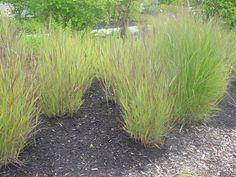 pics of shenandoa switch grass | ... Panicum virgatum 'Shenandoah' (Common Name: Shenandoah Switch Grass