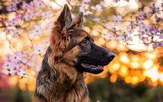 Descargar fondos de pantalla Pastor alemán, de la primavera, perros, mascotas, bokeh, simpáticos animales, Perro Pastor alemán