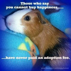 Those who say you cannot buy happiness have never paid an adoption fee. Baby Guinea Pigs, Guinea Pig Care, Animal Quotes, Animal Memes, Cute Baby Animals, Funny Animals, Wombat, Funny Rats, Guniea Pig