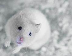 Joli hamster syrien blanc