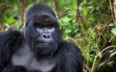 Počet horských goríl v Rwande, Ugande a Konžskej demokratickej republike (KDR) presiahol počet 1000 jedincov. Vyplýva to z najnovšieho prieskumu Svetového fondu na ochranu prírody (WWF).