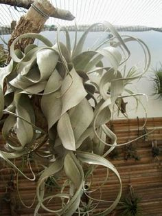 I want a Tillandsia xerographica but don't know if I have a green thumb!