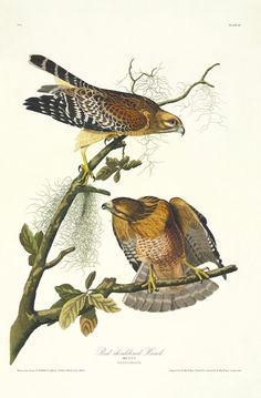 "Plate 56 Red Shouldered Hawk from ""Birds of America"" by John James Audubon Prints Princeton Audubon Limited Edition for sale Audubon Prints, Audubon Birds, Vogel Illustration, Botanical Illustration, Botanical Wall Art, Botanical Prints, Nature Prints, Bird Prints, Illustration Botanique"
