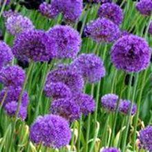 Purple Sensation Flowering #Crocus - Sheridan Nurseries. For bulb tips, visit us at: http://www.sheridannurseries.com/garden_tips/general_gardening/bulbs_for_all_seasons