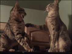 Cats-fight-standoff