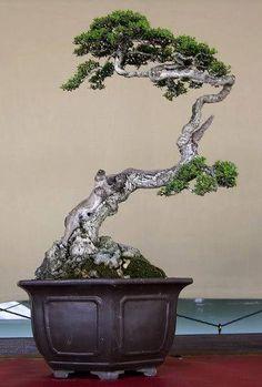 a gnarly beautiful bonsai