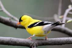 molted goldfinch
