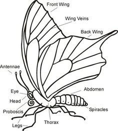 The kids would be able to recognize what parts of the butterfly are. They will identify the parts.