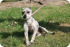 Conway, AR - Miniature Schnauzer. Meet Oswald, a dog for adoption. http://www.adoptapet.com/pet/10869687-conway-arkansas-miniature-schnauzer