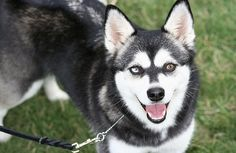 The Alaskan Klee Kai was developed fairly recently by a woman in Alaska who took a strong interest in a small dog resembling a Husky.