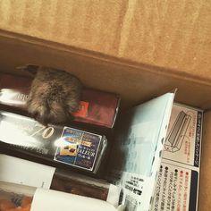 ネコババ #愛猫#猫#マンチカン#子猫#cat#munchkin#kitten#やんちゃ盛り#ネコババ