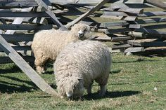 Raising Sheep for Wool – All You Need To Know