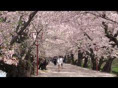 Shower of cherry blossoms at the Hirosaki Park, Aomori 弘前公園 桜吹雪