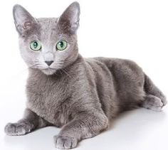 I have one :) -Russian Blue <3