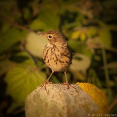 Meadow Pipit by Angie Baynes