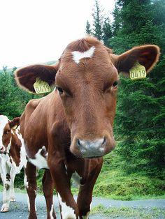 Cattle Norway Baby Sheep, Cute Sheep, Cute Cows, Farm Animals, Cute Animals, Heifer Cow, Sweet Cow, Raising Cattle, Horses