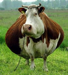 Look at that fat cow wow . But really it's a real fat cow