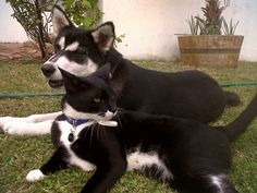 Terrible twins - Siberian husky and cat