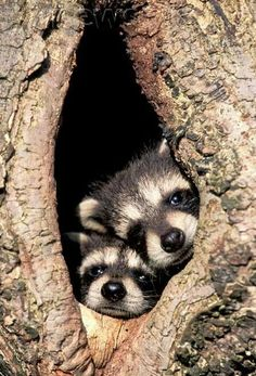 ♥♥♥♥♥ Baby raccoons in a tree/wildlife creatures sweet animal photography pictures and photos Cute Creatures, Beautiful Creatures, Animals Beautiful, Beautiful Birds, Cute Baby Animals, Animals And Pets, Funny Animals, Baby Raccoon, Tier Fotos
