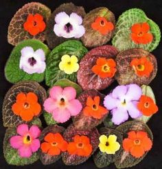 So many Episcia to choose from...