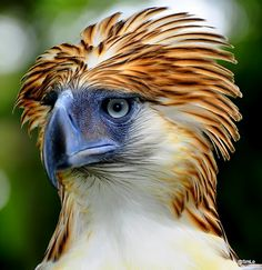 Philippine Eagle gets up!