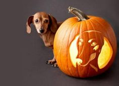 Dachshund Pumpkin by Dachshund Clube, via Flickr