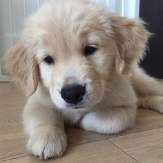 Gorgeous Golden retriever xxxx