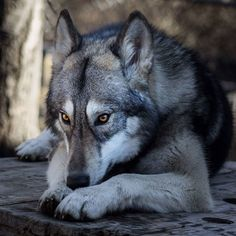 We had some visitors yesterday and was able to capture this beautiful picture of Khloe! Wolf Husky, In The Zoo, Wolfdog, Werewolves, Beautiful Pictures, Fox, Bear, Animals, Instagram