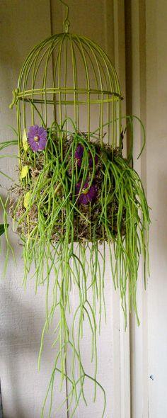 birdcage planter with mistletoe cactus (Rhipsalis baccifera)