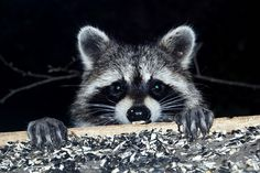 An adorable raccoon.