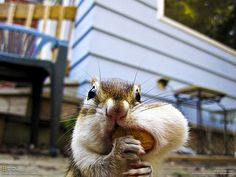 Cute little chipmunks go nuts over nuts and other things. Adorable chipmunks in every picture for you to get your daily dose of cuteness. Wild Animals Pictures, Funny Animal Photos, Animal Pictures, Funny Photos, Hamsters, Rodents, Animals And Pets, Baby Animals, Funny Animals