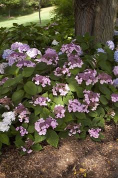 The Twist-n-Shout bigleaf lacecap hydrangea from Endless Summer boasts picturesque deep pink or periwinkle blue hydrangea flowers. Hydrangea Flower, Hydrangeas, Flowers, Twist And Shout Hydrangea, Easy To Grow Houseplants, Endless Summer Hydrangea, Perfect Plants, Live Plants, Hydrangea