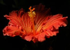 Hibiscus  Life Blood Red and Yellow Hawaiian Flower by elinay, $14.88
