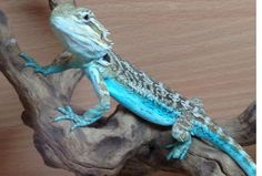 "Blue Flame Bearded Dragons Sale | Bearded Dragon (Blue?) ""If blue bearded dragons are real I want one. I need one. I HAVE to have one!"""