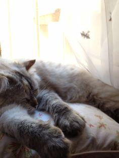 Snoring kitten Flanelle. Ragdoll cat.