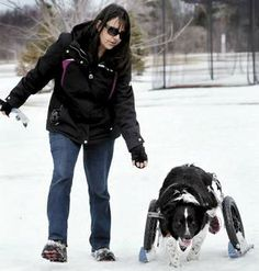 Dog with paralysis gets around with Wheelchair on skis