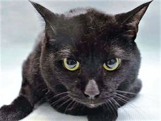 VADER - A1114415 - - Manhattan  *** TO BE DESTROYED 07/14/17 *** 13 year old Vader was left at the shelter for litterbox issues.  She is already spayed and should have a vet check to see if something is wrong. -  Click for info & Current Status: http://nyccats.urgentpodr.org/vader-a1114415/