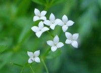 Hedge Bedstraw - Galium mollugo - Wild flowers in an English Country Garden British Flowers, English Country Gardens, Hedges, Garden Inspiration, Wild Flowers, Signage, Wreaths, Plants, January