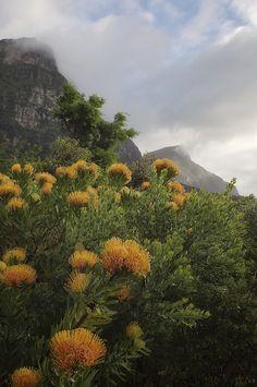 Leusospermum (Protea) at Table Mountain, South Africa
