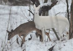 An albino Whitetail deer browses next to a normal colored one in the woods late Friday afternoon in Western Indiana. The recessive gene causing the albinism appears only in about