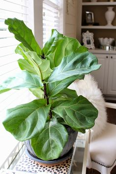 TiffanyD: Caring For House Plants: A fiddle leaf fig story... and an nameless orchid.
