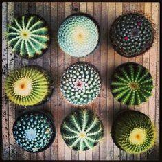 Individual Cactus.
