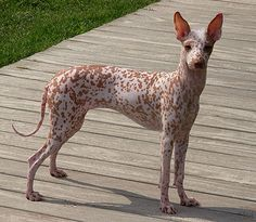 Peruvian Inca Orchid. Hairless dog with freckles and little white mohawk. I don't care what anyone says, I think it's cute :)