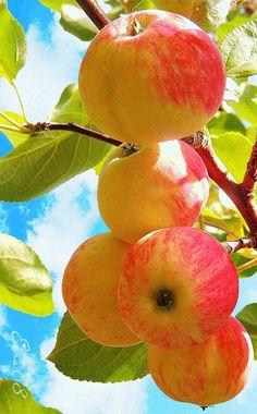A delicious Apple! L'art Du Fruit, Fruit Plants, Fruit Garden, Fruit Art, Fruit Trees, Fresh Fruits And Vegetables, Fruit And Veg, Beautiful Fruits, Beautiful Flowers