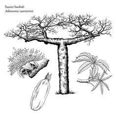 Baobab Tree, Tropical, Malva, Botany, Bonsai, Embroidery Patterns, Flora, Succulents, Moose Art