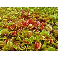 Seed grown Dionaea  #Dionaea #dionaeamuscipula #seedling #seedlings #Carnivorousplant #VFT #Venusflytrap #plant #carnivoroustagram #carnivorous #nature #botany #naturelovers #naturegram #sunny #plantswithbite by taudan